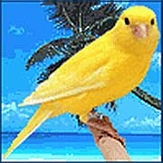 Канарейка - птица для души!